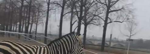 Allemagne : des zèbres s'échappent d'un cirque et galopent dans la ville