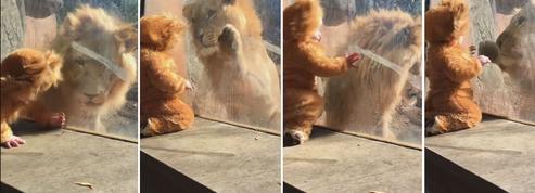 Vidéo : l'irrésistible rencontre entre un lion et un enfant... déguisé en lion