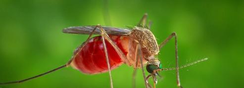 Le moustique commun ne peut pas transmettre le virus Zika