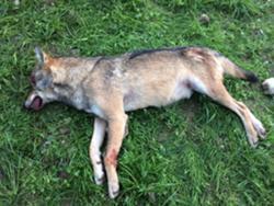 Le meurtrier du loup a fini par avouer son crime!