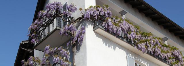 Quelle plante grimpante choisir sur un balcon?