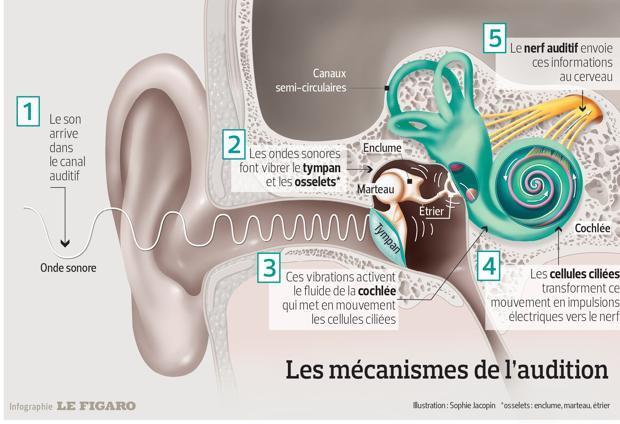 Ceci représente un schéma de l'oreille interne