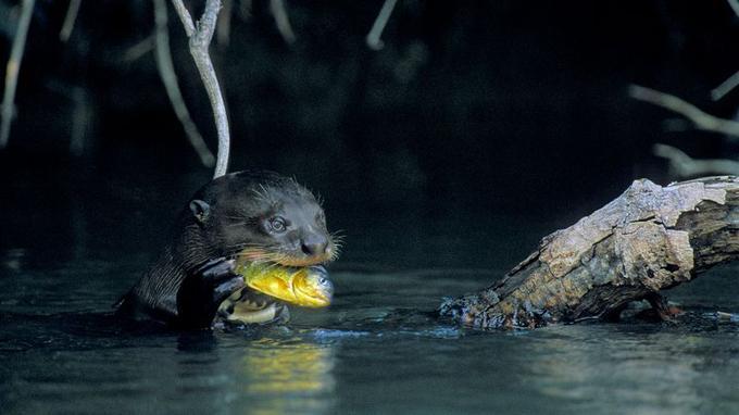 Après avoir frisé l'extinction, la loutre géante d'Amazonie investit les cours d'eau du Pantanal où les poissons abondent.