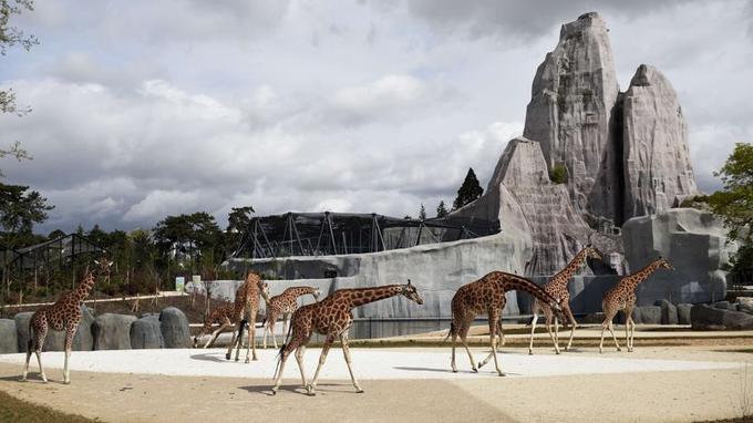 L'enclos des girafes d'Afrique de l'Ouest.