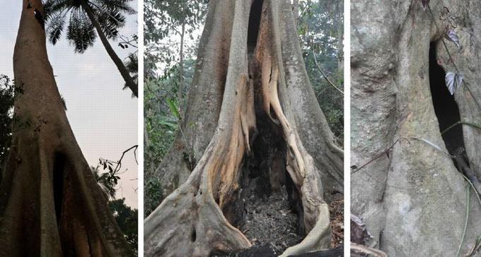 L'arbre creux où jouaient les enfants de Meliandou, et où nichait une colonie de chauve-souris insectivores découvertes par les villageois en mars, lorsque l'arbre a brûlé.
