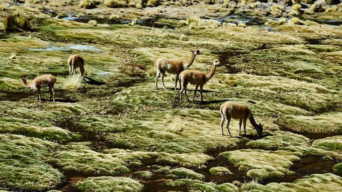 La vigogne habite l'Altiplano. Sa laine est plus douce que le cachemire.