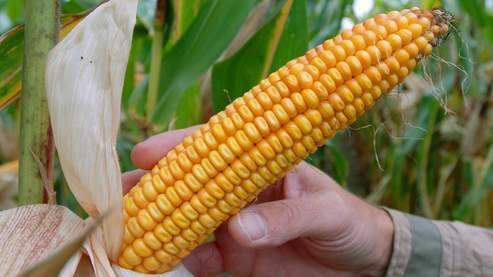 Le maïs OGM est sans dangerpour l'homme, selon l'Afssa