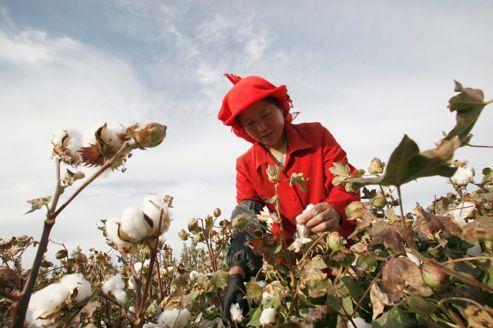 Le coton OGM profite aux coccinelles chinoises