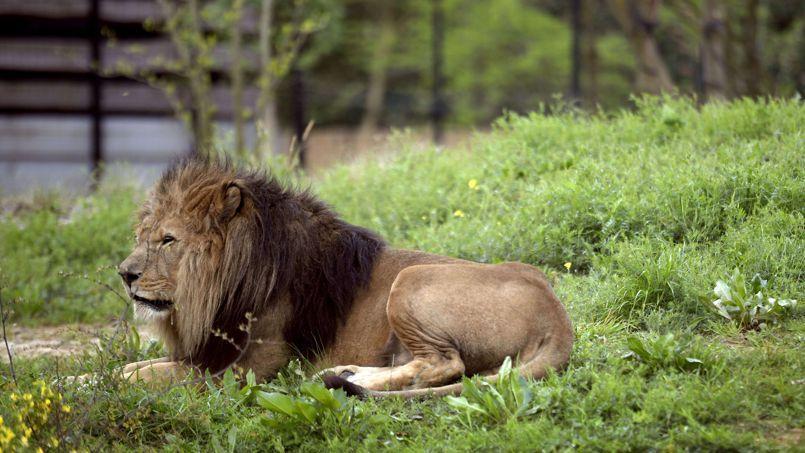 Le nouveau zoo de vincennes l 39 anti disneyland - Animaux du roi lion ...