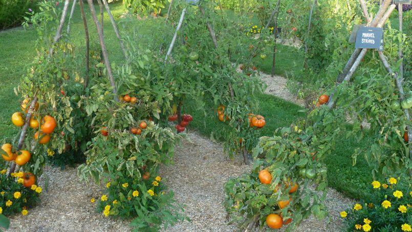 Les tomates anciennes font leur show ce week end pr s de tours - Plantation de tomates ...