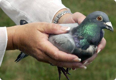 L'odorat est un des éléments qui composent le système de navigation des pigeons voyageurs.