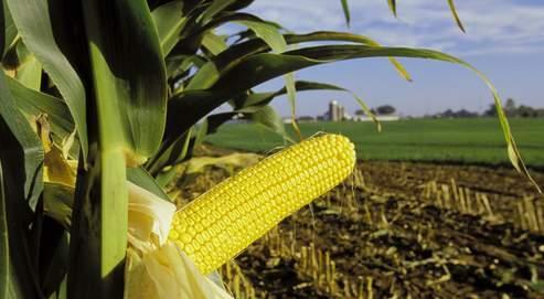 La possibilité de dissémination du gène du MON 810 à d'autres cultures de maïs non OGM ou biologiques est bien réelle.