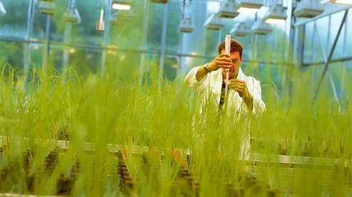 Des plants de riz OGM cultivés sous serre.