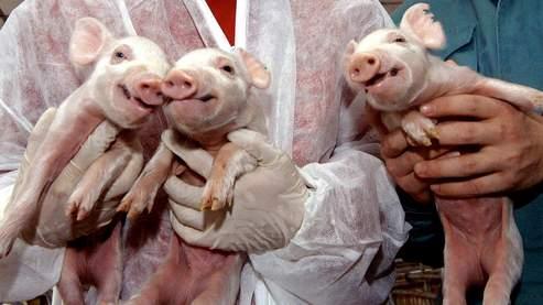 Trois porcelets clonés en Chine (AFP)