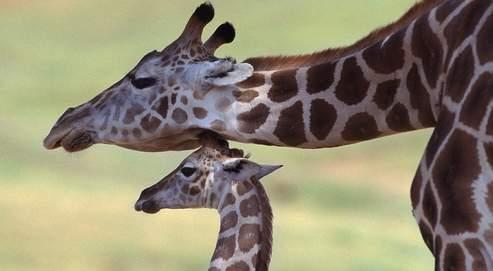 La girafe mesure 5,80 mètres de haut et pèse 2 tonnes. Elle peut courir jusqu'à 60 km/h, passer des obstacles de plus de 1,80 mètre et nager.