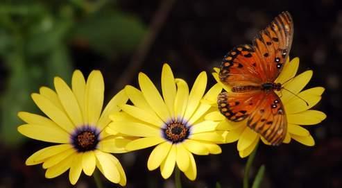Les papillons se souviennent- ils de leur passé de chenille ?