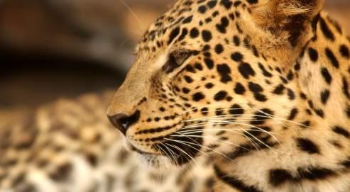 Les taches sombres qui ornent le corps des léopards (ici, un léopard d'Asie) leur assurent un bon camouflage là où ils vivent et chassent.