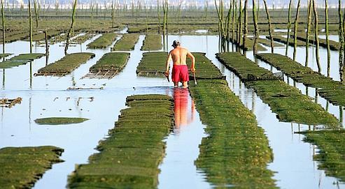 Un ostréiculteur contrôle ses tables à Gujan Mestras, dans le bassin d'Arcachon. En quelques jours, entre 40 et 100% des jeunes huîtres ont été atteintes.