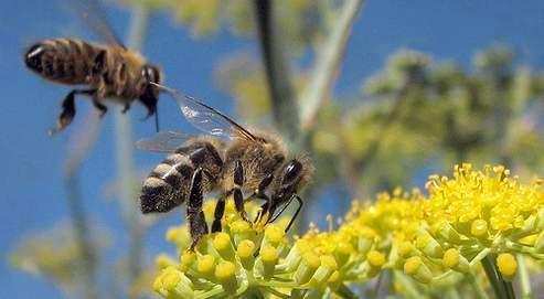 Depuis l'interdiction des insecticides Gaucho et Régent,appliqués sur les graines de tournesol et de maïs, les ruches ne se portent pas mieux. (Crédits photo : wolfpix)