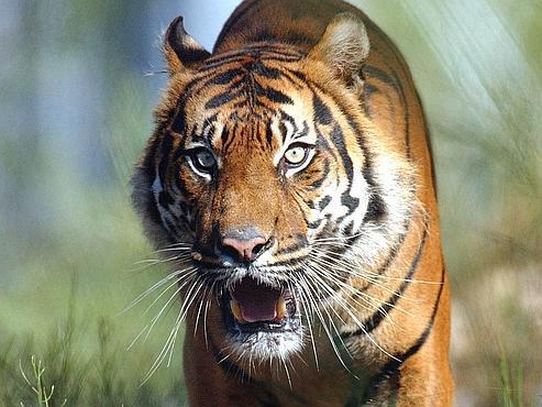 Tous les experts s'accordent : au cours du siècle dernier, la population mondiale de tigre à décru de 95%. Seuls 4000 spécimens subsisteraient dans la nature.