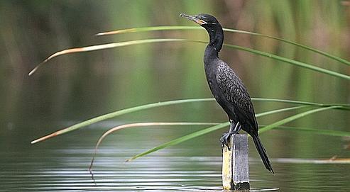 Le grand cormoran, dont la population a explosé en France, attrape plus d'un demi-kilo de poisson par jour.