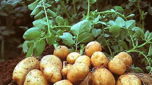 La pomme de terre Amflora est le deuxième OGM à recevoir l'agrément européen, après le maïs MON810 de Monsanto en 1998.