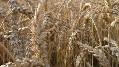 La Russie remporte la course au blé devant les Etats-Unis