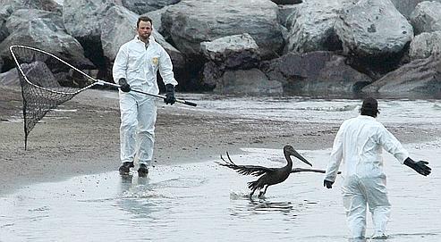 Sur une plage de Grand Isle, en Louisiane, on essaie de sauver des pélicans recouverts de pétrole.