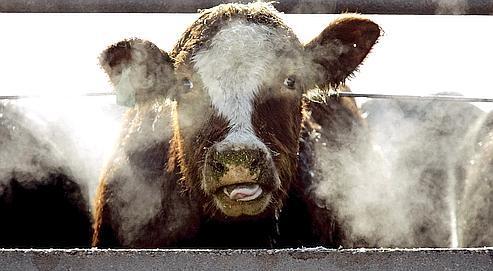 Les farines animales, obtenues à partir des morceaux non consommés de carcasses bovines et de cadavres d'animaux dans l'alimentation des bovins, sont, dès la fin des années 1980, accusées de provoquer une infection dégénérative du système nerveux central des bovins.