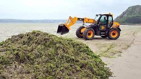Ramassage d'algues à Saint-Michel-en-Grève, dans les Côtes d'Armor. Les ulva lactuca doivent être récoltées rapidement car elles dégagent des gaz nocifs en pourrissant.