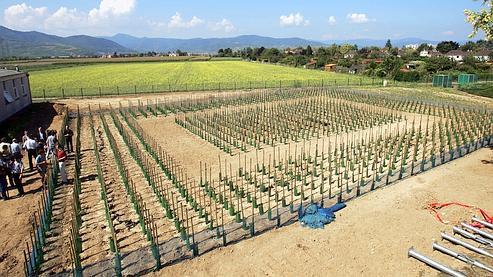 Les pieds de vigne transgénique de l'Institut national de recherche agronomique au démarrage de l'expérimentation en 2005.