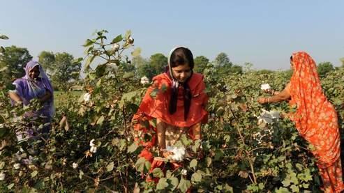 En Inde, le coton génétiquement modifié de Monsanto occupe près de 90% des surfaces réservées à cette récolte.
