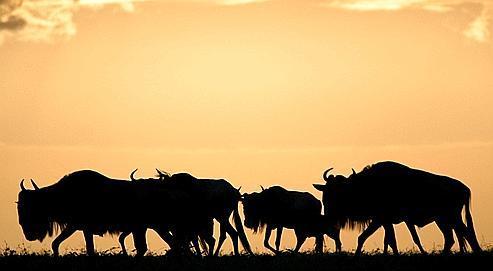 Le parc du Serengeti menacé par un projet routier