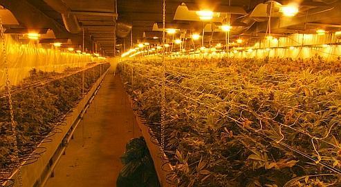 Les plants de cannabis poussent dans des hangars, sous lumière artificielle.
