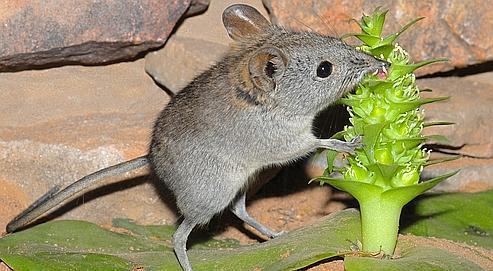 Un mammifère pollinisateur en Afrique du Sud