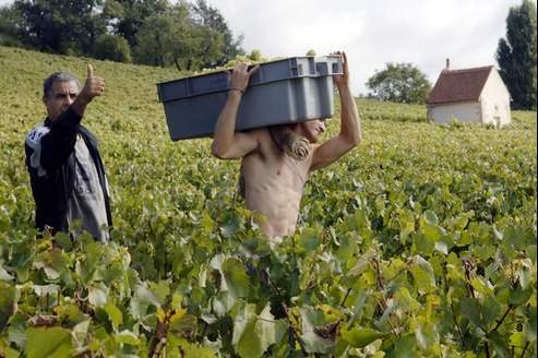 Des vendanges en Bourgogne, près de Beaune, dans le très coté village d'Aloxe-Corton.