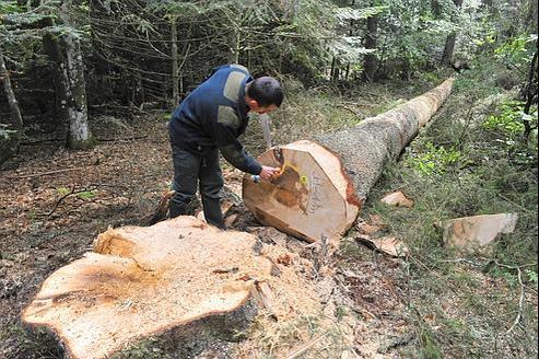 Un agent de l'ONF procède au marquage d'un tronc d'arbre qui vient d'être abattu, le 22 juillet 2011 sur la comune de Besse en Chandesse.