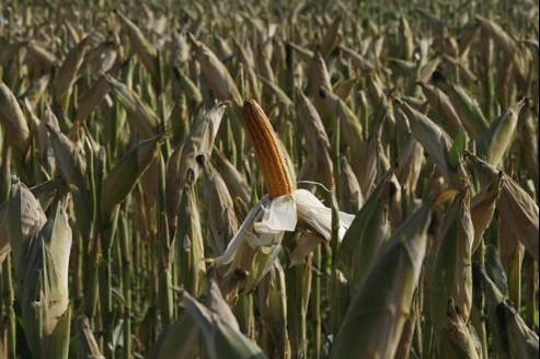 Maïs OGM: les producteurs s'opposent au moratoire