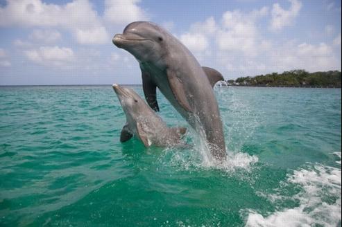 Les dauphins émettraient un sifflement lorsqu'ils se croisent, ce qui leur permettrait de se reconnaître.