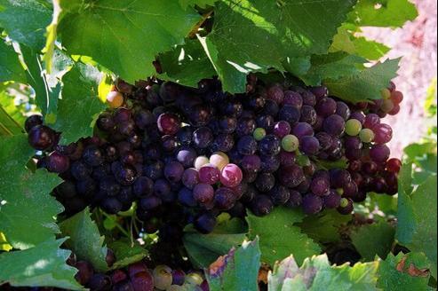 La recherche porte également sur des vignes résistantes à la sécheresse, même si, il est désormais permis à certaines régions d'irriguer jusqu'à la mi-août.