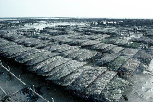 Plus l'eau est acide, plus les mollusques peinent à former leur coquille. (ici: ostréïculture en Bretagne)