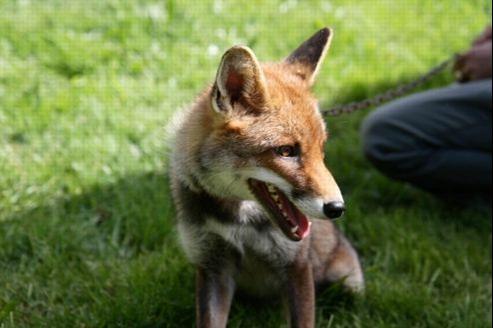 Comment chasser un renard de son jardin - Comment chasser les taupes du jardin ...