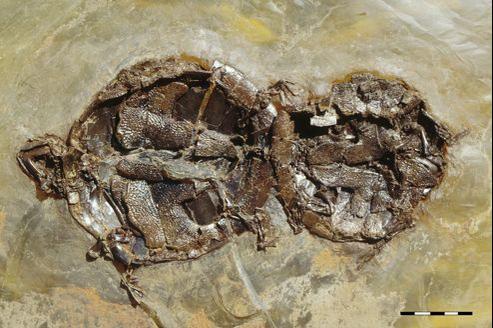 Des tortues fossilisées en pleine copulation