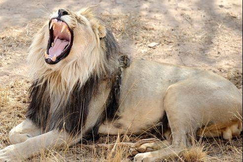 Dans le monde, environ 200 personnes meurent chaque année attaquées par un lion.