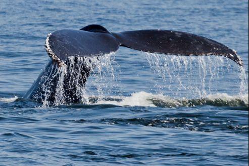 Les scientfiques australiens ont pu repérer une trentaine de baleines en utilisant des capteurs acoustiques immergés.