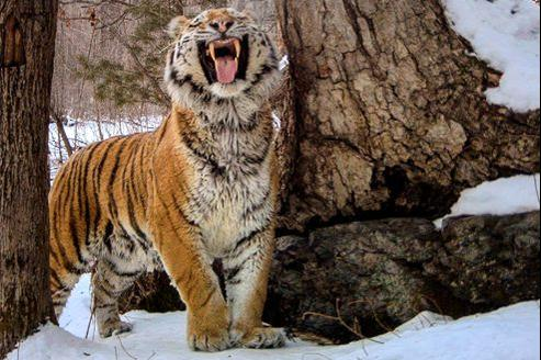 Le tigre de Sibérie est le plus grand des félins. Un adulte peut atteindre deux mètres de long. Il sait résister aux hivers rigoureux de Sibérie où la température peut descendre à -50°C, mais succombe aux pièges des braconniers.