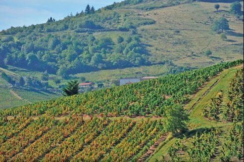 Avec 26 hectolitres à l'hectare, les rendements des vignobles du Beaujolais sont deux fois moins élevés.