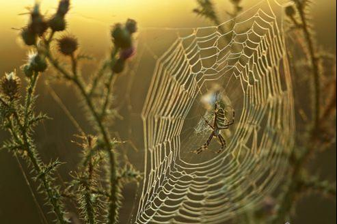 Les fils d'araignée et pas seulement les grandes toiles, comme ici celle tissée par une épeire, ont un effet inhibiteur chez les insectes ravageurs des cultures. (MIHAILESCU/AFP.)