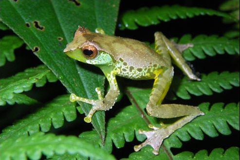 Gracixalus quangi, l'un des nombreux nouveaux batraciens découverts au Vietnam.