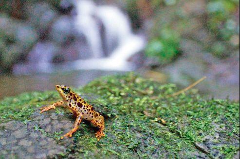 Une grenouille dans son habitat au Panama.